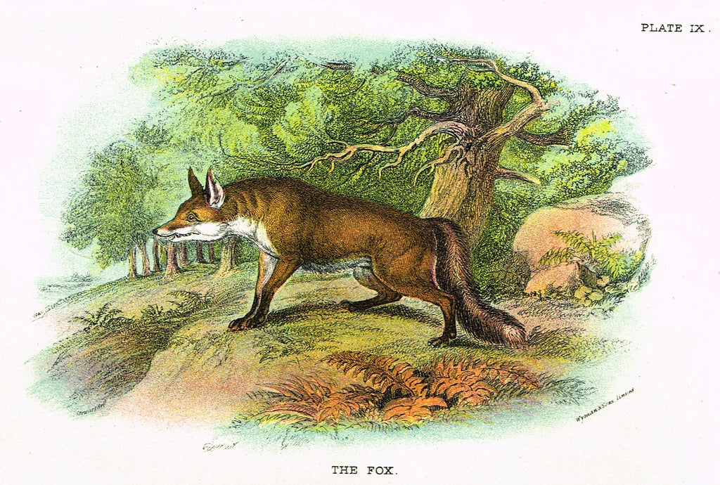 "Lydekker's British Mammalia - ""THE FOX"" - Chromolithograph - 1896"
