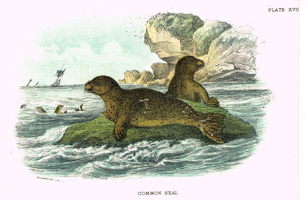 "Lydekker's British Mammalia - ""COMMON SEAL"" - Chromolithograph - 1896"