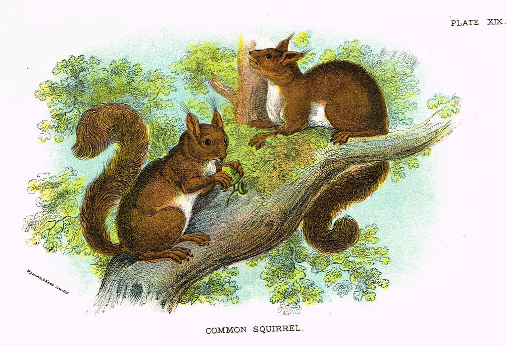"Lydekker's British Mammalia - ""COMMON SQUIRREL"" - Chromolithograph - 1896"