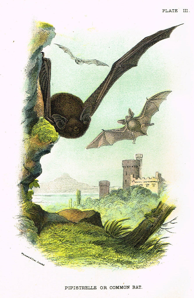 "Lydekker's British Mammalia - ""PIPISTRELLE or COMMON BAT"" - Chromolithograph - 1896"