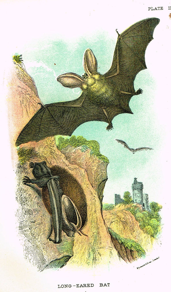 "Lydekker's British Mammalia - ""LONG-EARED BAT"" - Chromolithograph - 1896"