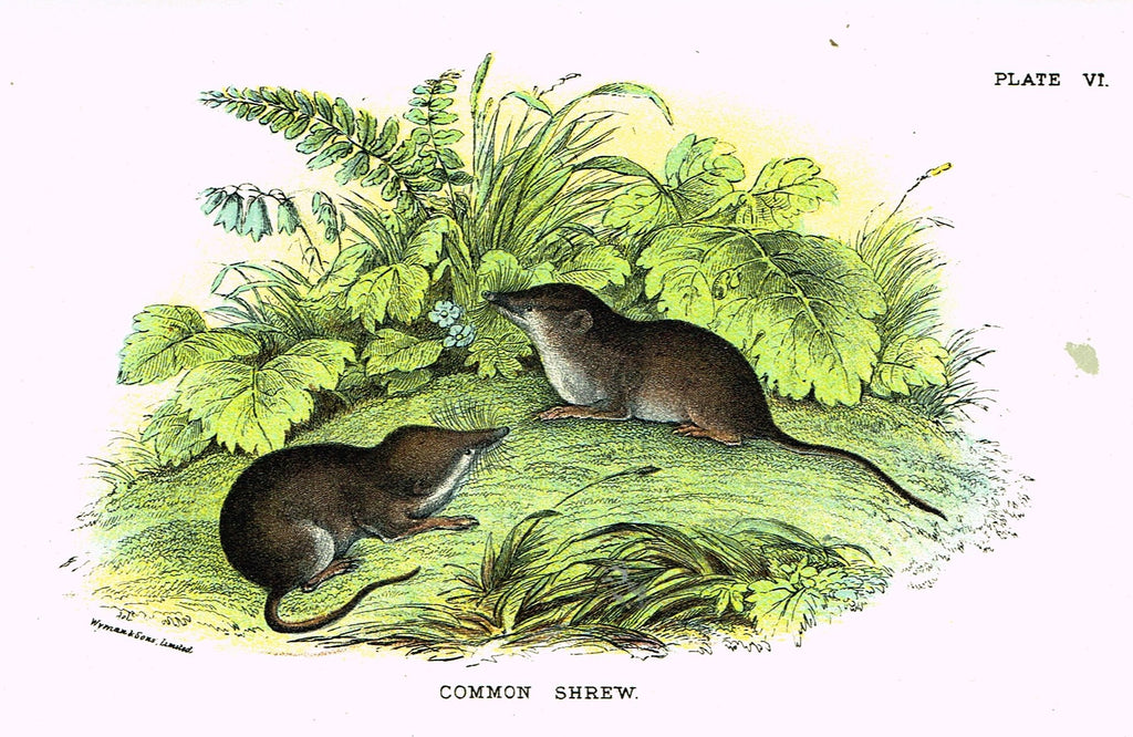 "Lydekker's British Mammalia - ""WATER SHREW"" - Chromolithograph - 1896"