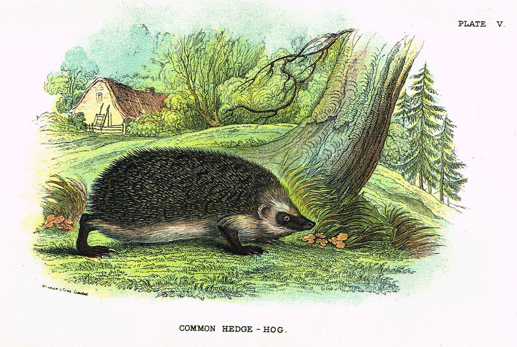 "Lydekker's British Mammalia - ""COMMON HEDGE-HOG"" - Chromolithograph - 1896"