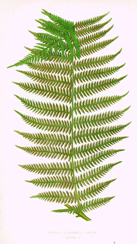 "Lowe's Ferns - ""PTERIS AQUILINA - PINNA (III)"" - Chromolithograph - 1856"