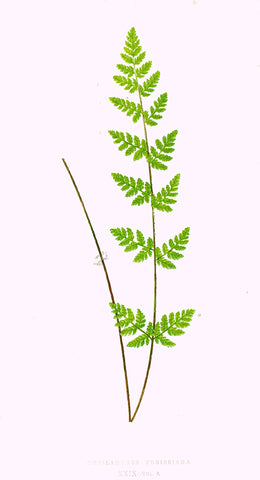 "Lowe's Ferns - ""CHEILANTHES PREISSIANA (XXIX)"" - Chromolithograph - 1856"