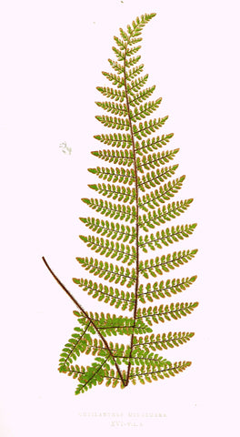 "Lowe's Ferns - ""CHEILANTHES MICROMERA (XVI)"" - Chromolithograph - 1856"