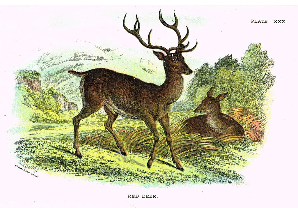 "Lydekker's British Mammalia - ""RED DEER"" - Chromolithograph - 1896"