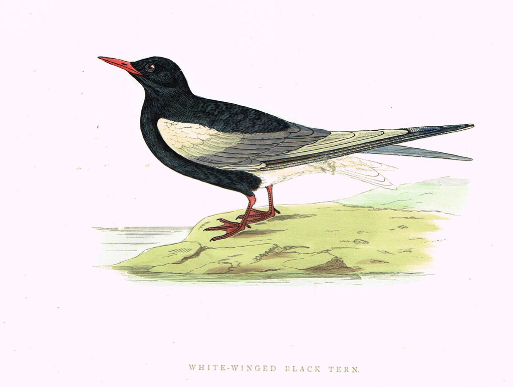 "Morris's Birds - ""WHITE WINGED BLACK TERN"" - Hand Colored Wood Engraving - 1895"