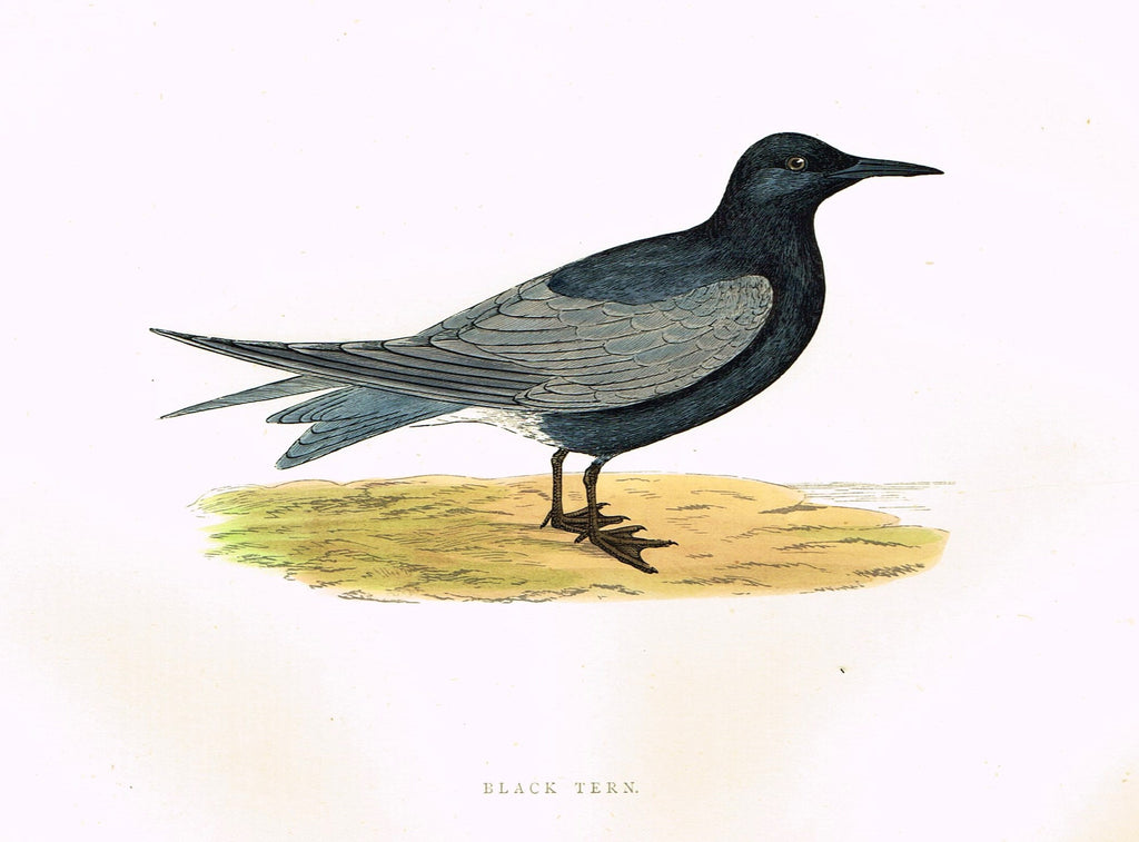 "Morris's Birds - ""BLACK TERN"" - Hand Colored Wood Engraving - 1895"