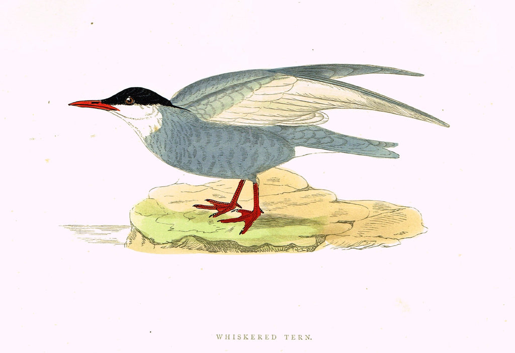"Morris's Birds - ""WHISKERED TERN"" - Hand Colored Wood Engraving - 1895"
