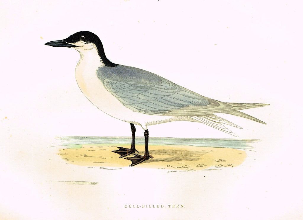 "Morris's Birds - ""GULL-BILLED TERN"" - Hand Colored Wood Engraving - 1895"