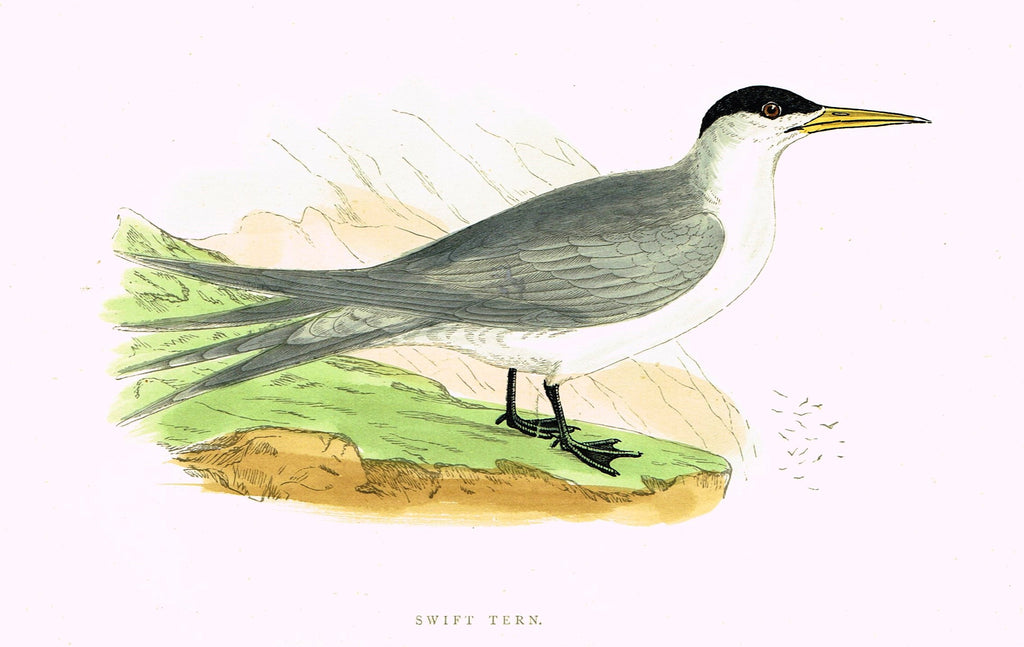 "Morris's Birds - ""SWIFT TERN"" - Hand Colored Wood Engraving - 1895"