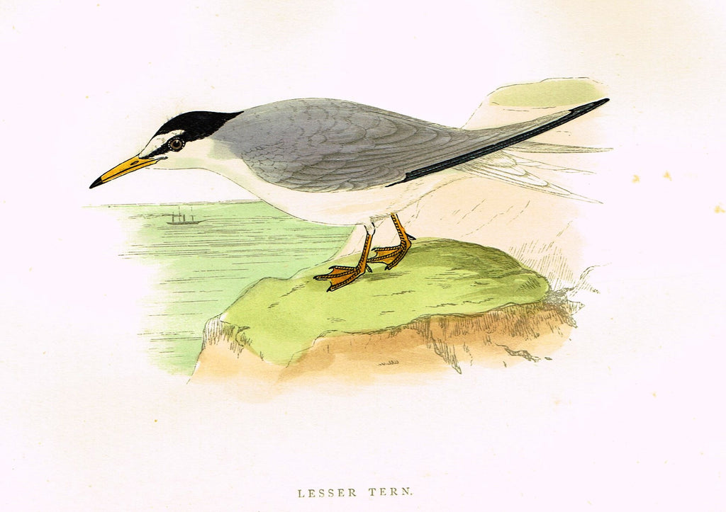 "Morris's Birds - ""LESSER TERN"" - Hand Colored Wood Engraving - 1895"