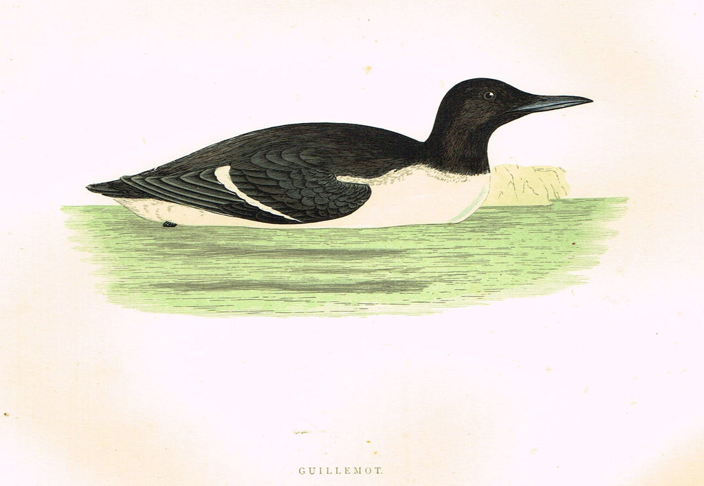 "Morris's Birds - ""GUILLEMOT"" - Hand Colored Wood Engraving - 1895"