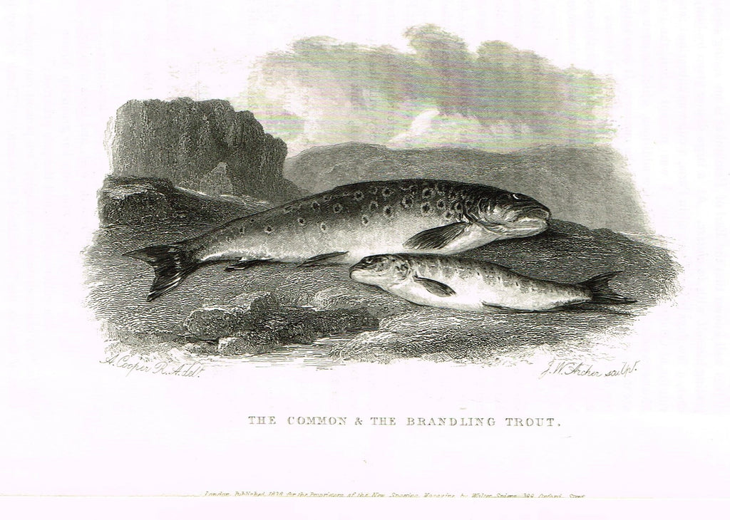 "Ackermann's Sporting Magazine - FISH & FISHING - ""THE COMMON & THE BRANDLING TROUT"" - Steel Engraving - c1838 - Sandtique-Rare-Prints and Maps"