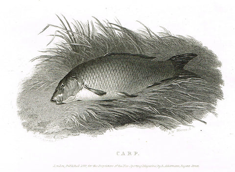 "Ackermann's Sporting Magazine - FISH & FISHING - ""CARP"" - Steel Engraving - c1838 - Sandtique-Rare-Prints and Maps"
