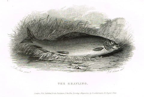 "Ackermann's Sporting Magazine - FISH & FISHING - ""THE GRAYLING"" - Steel Engraving - c1838 - Sandtique-Rare-Prints and Maps"