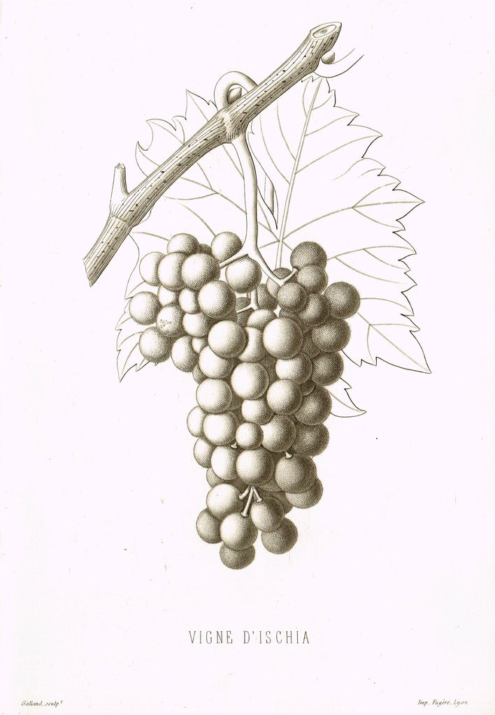 "Pomologie de la France - ""VIGNE D'ISCHIA, Pl. 18,  (GRAPES)"" - Lithograph of Fruit - 1863"