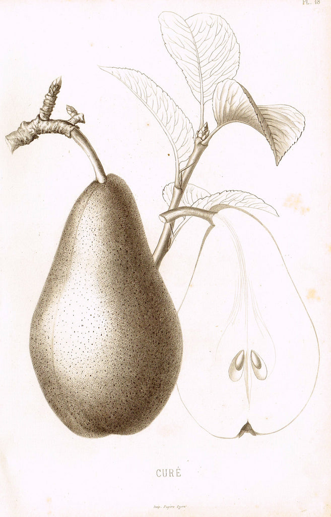 "Pomologie de la France - ""CURE, Pl. 48,  (PEAR)"" - Lithograph of Fruit - 1863"