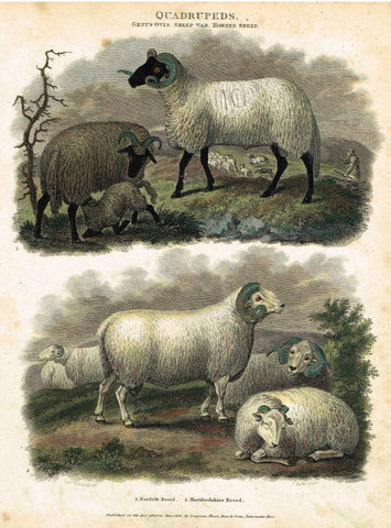 "Antique Animal - Edwards's Quadrepeds - ""GENUS OVIS - HORNED SHEEP"" - Hand Colored Engraving - 1807"