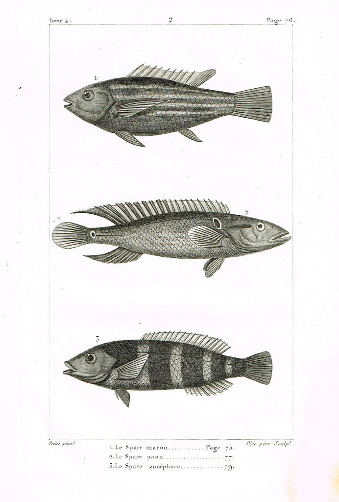 "Lacepede's Fish - ""LE SPACE MARON - Plate 2"" by Pretre - Copper Engraving - 1833"