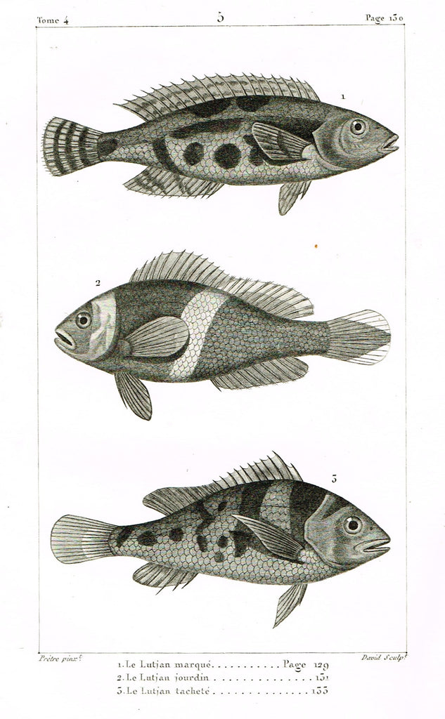 "Lacepede's Fish - ""LUTJAN MARQUE - Plate 5"" by Pretre - Copper Engraving - 1833"