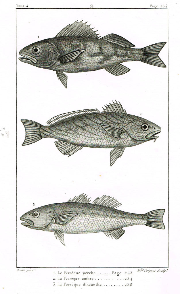 "Lacepede's Fish - ""LE PERSEQUE PERCHE - Plate 9"" by Pretre - Copper Engraving - 1833"