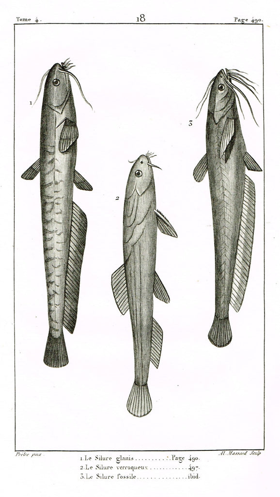 "Lacepede's Fish - ""LE SILURE GLANIS - Plate 18"" by Pretre - Copper Engraving - 1833"