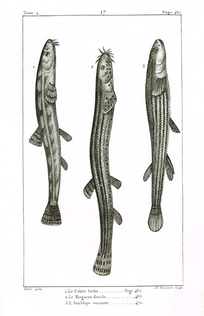"Lacepede's Fish - ""LE COBITE LOCHE - Plate 17"" by Pretre - Copper Engraving - 1833"