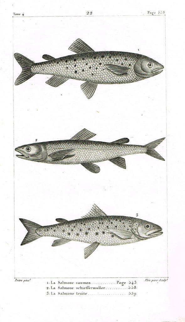"Lacepede's Fish - ""LE TACHYSURE CHINOIS - Plate 21"" by Pretre - Copper Engraving - 1833"