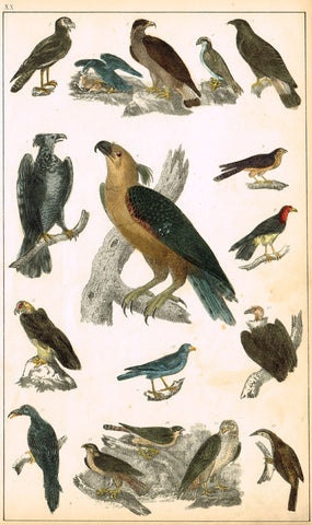 Antique Bird Print - BIRDS OF PREY, EAGLE, FALCON, CONDOR - Hand Colored Engraving - c1850