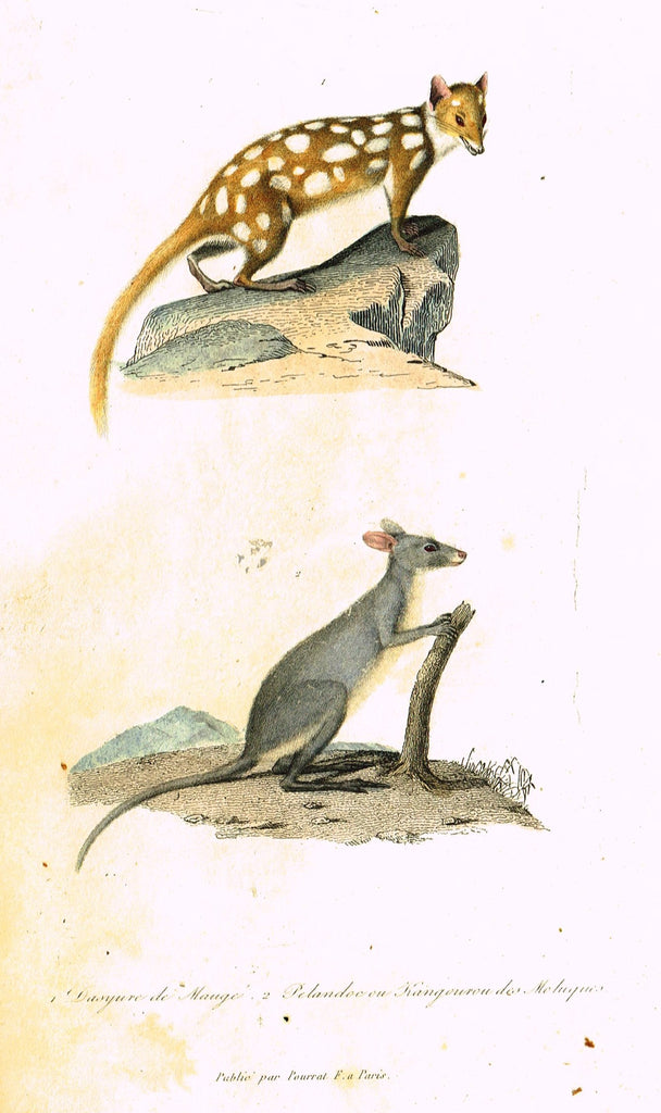 "Antique Animal Print - Buffon - ""DSYUVE DE MAUGE"" et ""KANGOUROU"" Hand Colored Engraving - 1839"