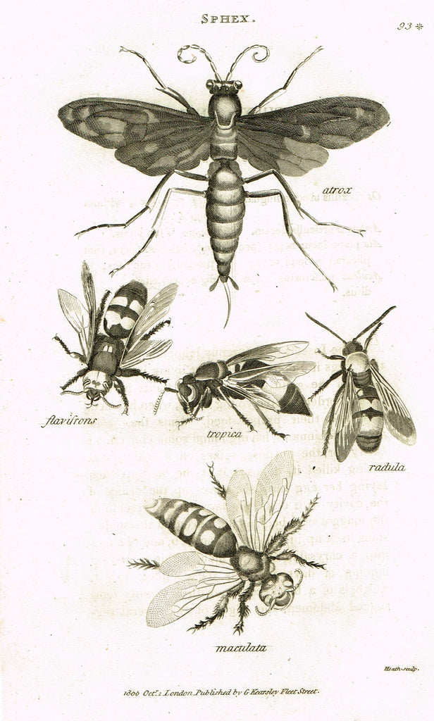 "Shaw's General Zoology - (Insects) - ""SPHEX - DIGGER WASP "" - Copper Engraving - 1805"