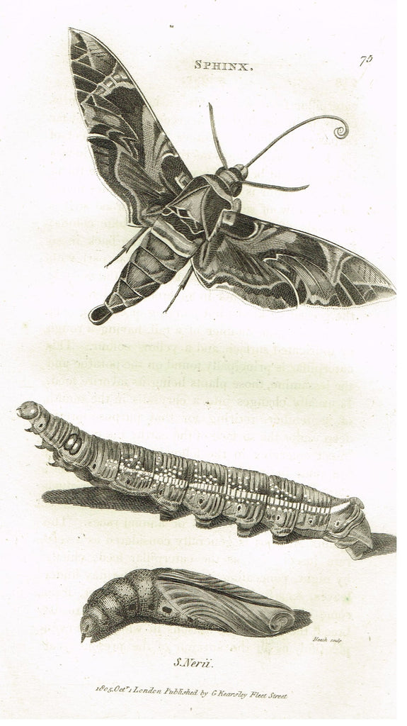 "Shaw's General Zoology - (Insects) - ""SPHINX - NERII MOTH "" - Copper Engraving - 1805"