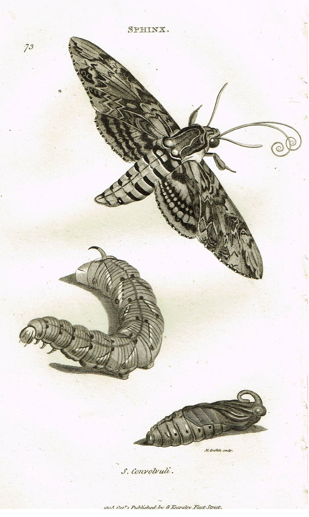 "Shaw's General Zoology - (Insects) - ""SPHINX - CONVOLVULI  MOTH "" - Copper Engraving - 1805"
