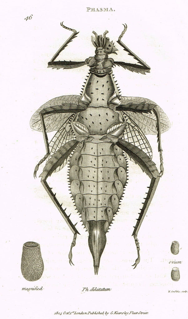 "Shaw's General Zoology - (Insects) - ""PHASMA - DILATATUM"" - Copper Engraving - 1805"