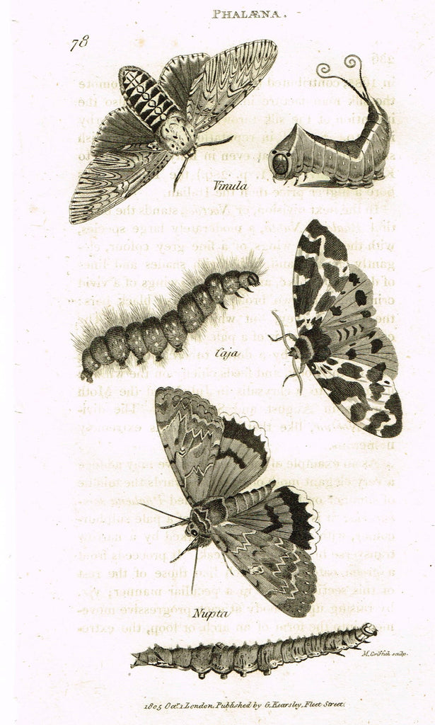 "Shaw's General Zoology - (Insects) - ""PHALAENA - VINULA"" - Copper Engraving - 1805"