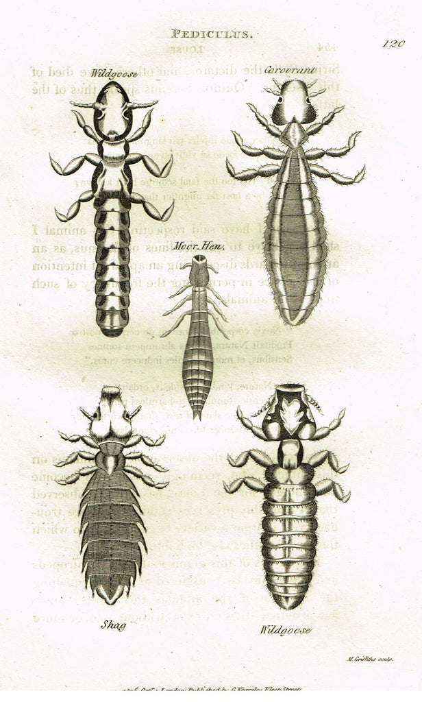 "Shaw's General Zoology - (Insects) - ""PEDICULUS - LOUSE"" - Copper Engraving - 1805"
