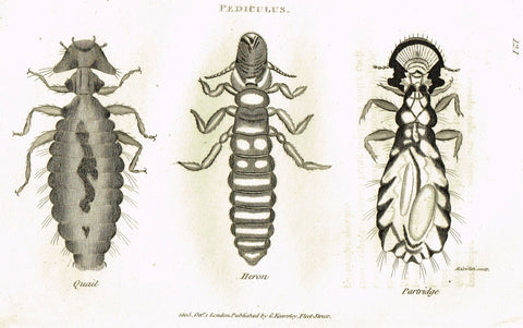 "Shaw's General Zoology - (Insects) - ""PEDICULUS - LOUSE - 3 VARIETIES"" - Copper Engraving - 1805"