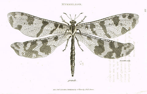 "Shaw's General Zoology - (Insects) - ""MYRMELEON - DRAGON FLY"" - Copper Engraving - 1805"