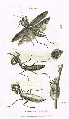 "Shaw's General Zoology - (Insects) - ""MANTIS - ORATORIA"" - Copper Engraving - 1805"