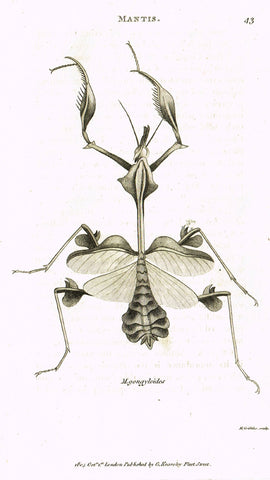 "Shaw's General Zoology - (Insects) - ""MANTIS - GONGYLOIDES"" - Copper Engraving - 1805"