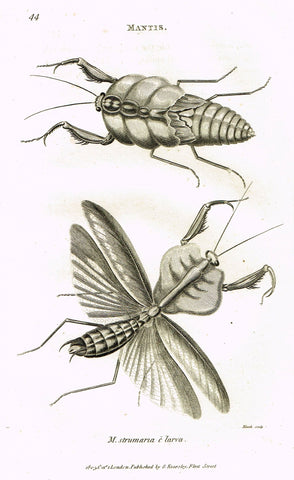 "Shaw's General Zoology - (Insects) - ""MANTIS - STRUMARIA"" - Copper Engraving - 1805"
