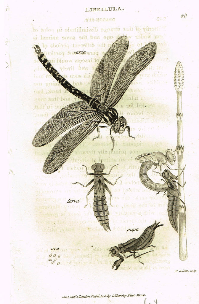 "Shaw's General Zoology - (Insects) - ""SKIMMER DRAGONFLY"" - Copper Engraving - 1805"