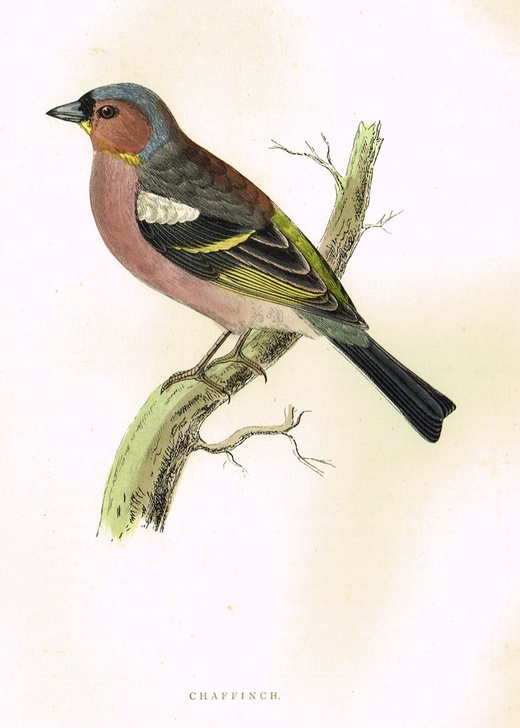 "Morris's Birds - ""CHAFFINCH"" - Hand Colored Wood Engraving - 1895"