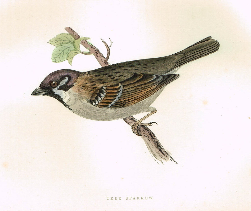 "Morris's Birds - ""TREE SPARROW"" - Hand Colored Wood Engraving - 1895"