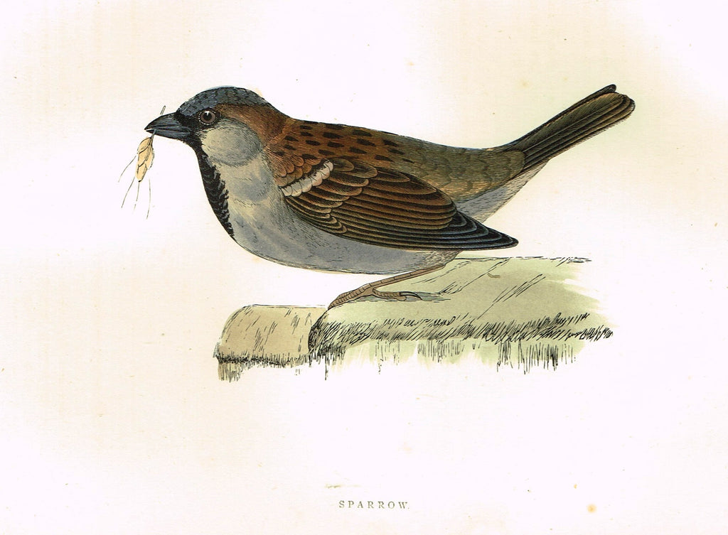 "Morris's Birds - ""SPARROW"" - Hand Colored Wood Engraving - 1895"