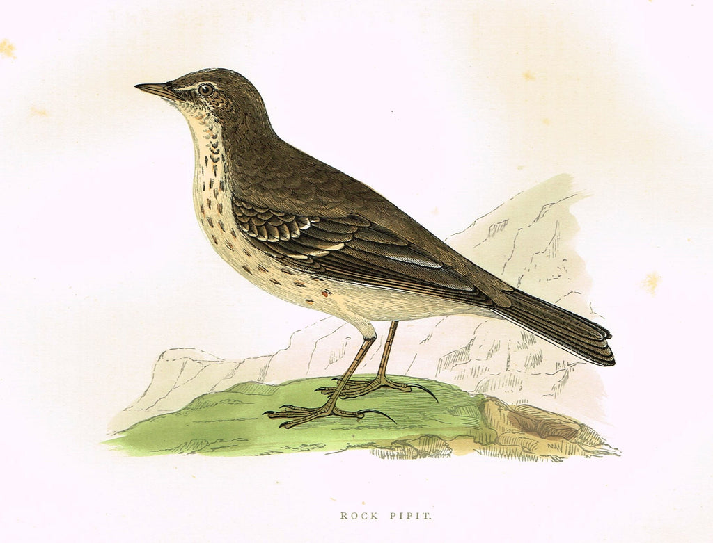 "Morris's Birds - ""ROCK PIPIT"" - Hand Colored Wood Engraving - 1895"
