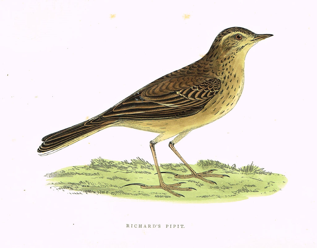 "Morris's Birds - ""RICHARD'S PIIPIT"" - Hand Colored Wood Engraving - 1895"