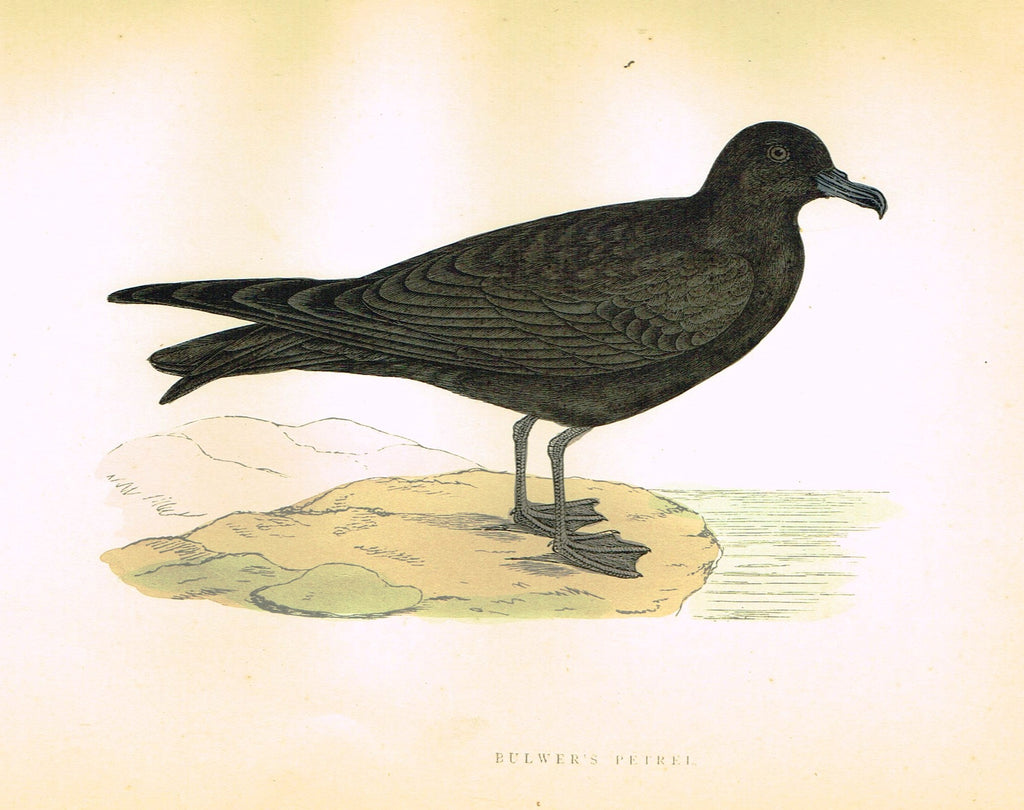 "Morris's Birds - ""BULWER'S PETREL"" - Hand Colored Wood Engraving - 1895"